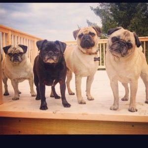 Kelly's four pugs, Lola, Dot, Wendall & Ruby